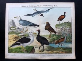 Kirby & Schubert 1889 Antique Bird Print. Ruff Water Hen, Corncrake Jacana, Gull
